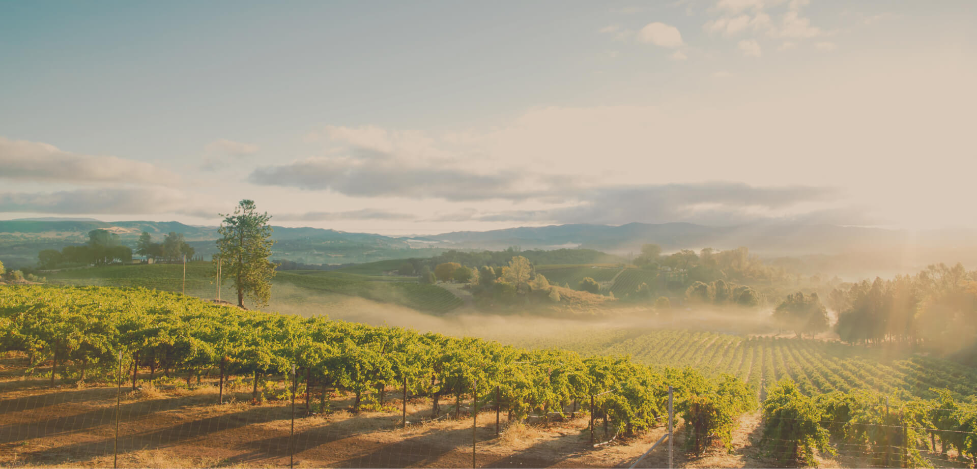 A row of grape vines in Napa Valley.